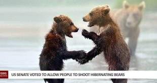 US Senate Voted To Allow People To Shoot Hibernating Bears